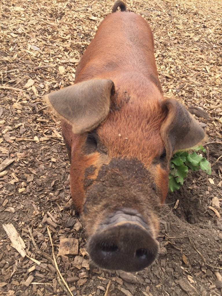 New Piglets And Pigs At The Farm Institute Martha's Vineyard Meals In The Meadows Fundraiser