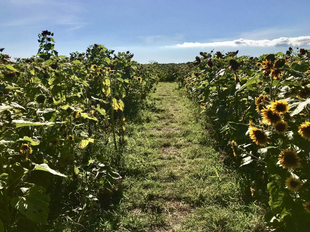 Pick Your Own Sunflowers At The Farm Institute's Sunflower Meadow Martha's Vineyard At The Katama Farm