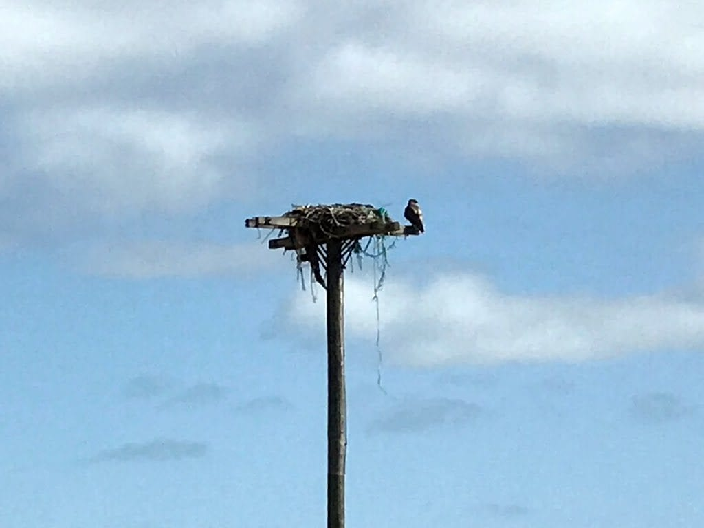 Discovering Ospreys At Felix Neck Wildlife Sanctuary Scavenger Hunt Martha's Vineyard What To Do