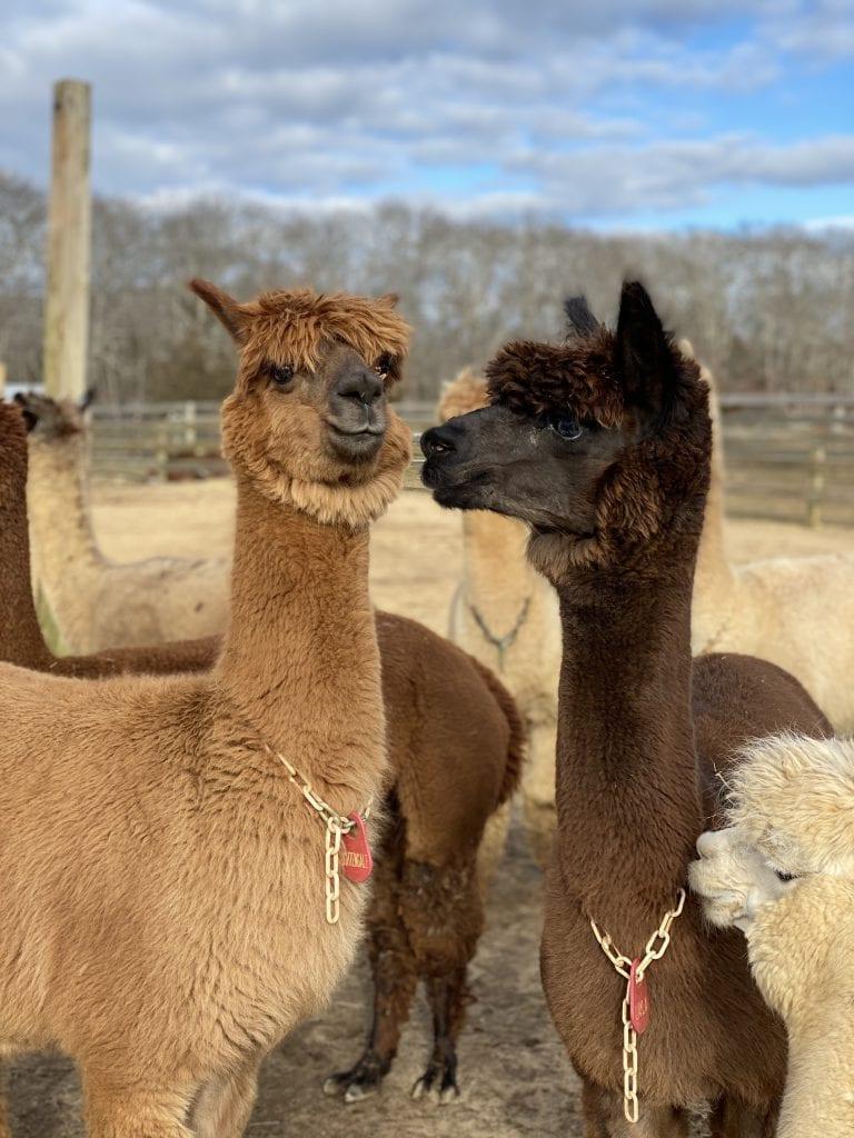 Island Alpaca Martha's Vineyard Bucket List Point B Realty