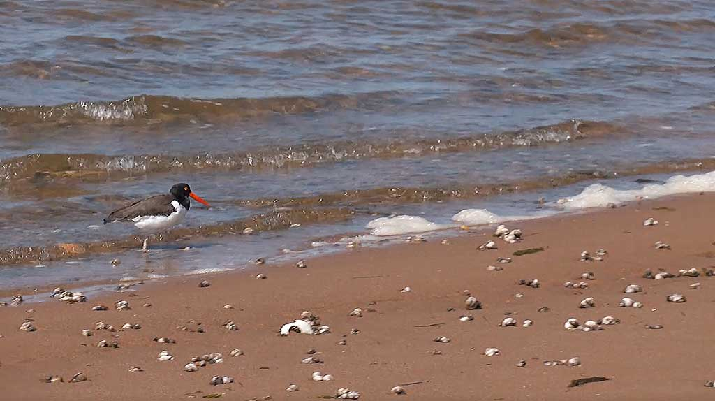 Martha's Vineyard Bucket List: Chappy Adventure Shorebirds on Cape Poge Bay