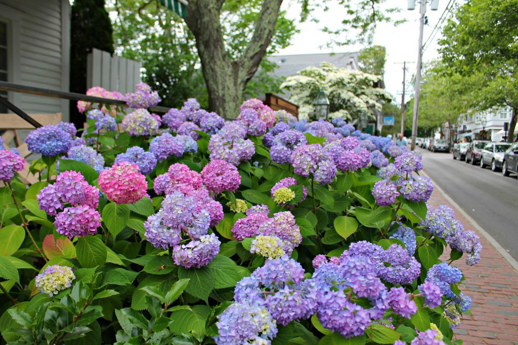 Hydrangeas  Edgartown Visit Edgartown Summer 2021 Martha's Vineyard  Point B Realty