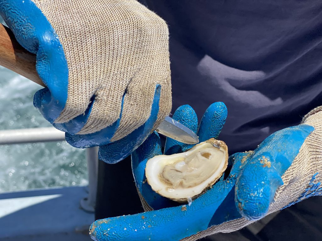 Experience Cottage City Oyster Farm Tours On Martha's Vineyard - Farm Fresh Oysters Are Served Aboard The Leeward