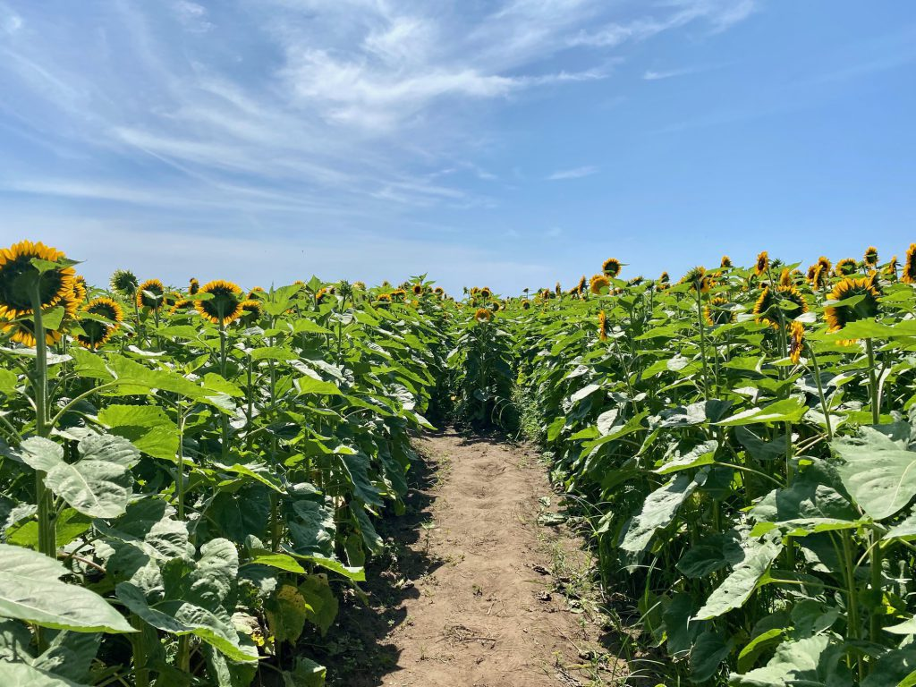 Field of Magic - Pick Your Own Sunflowers at The FARM Institute On Martha's Vineyard Katama Farm Katama  Visit Edgartown Martha's Vineyard  The Trustees  Point B Realty