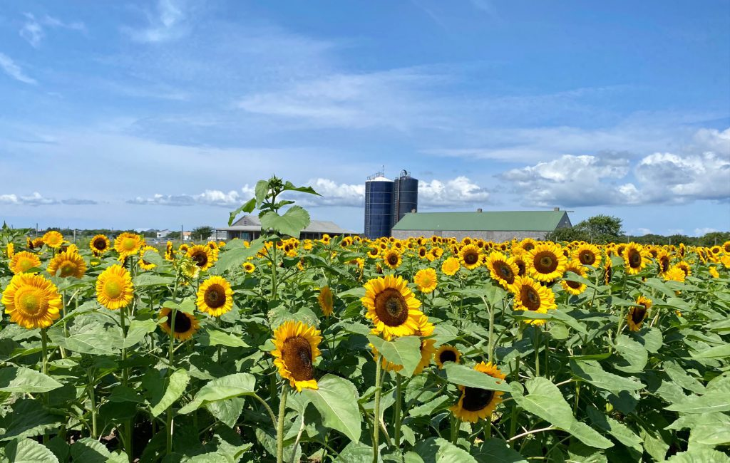 Field of Magic - Pick Your Own Sunflowers at The FARM Institute On Martha's Vineyard The FARM Institute Katama Farm Katama  Visit Edgartown Martha's Vineyard  The Trustees  Point B Realty
